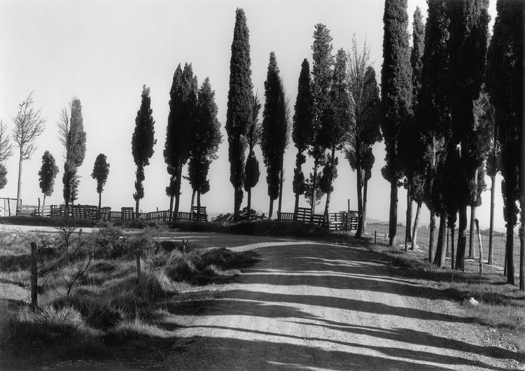 Cypresses with Fence